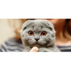 Шотландский вислоухий кот: чем и как кормить