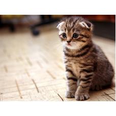 Шотландский вислоухий котенок: воспитание, уход и рацион