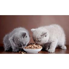 Чем кормить британского котенка: рацион и противопоказания