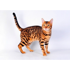 Чем кормить бенгальского котенка: рацион и противопоказания
