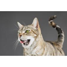 Можно ли кошкам валерьянку: польза или вред