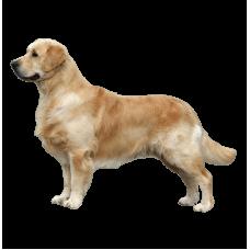 Самая умная порода собаки