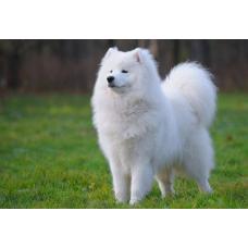 Гипоаллергенные породы собак, лучшие породы собак для аллергиков