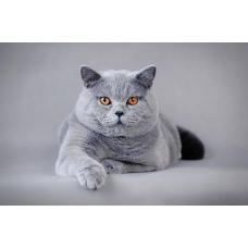 Британская порода кошек: особенности и уход