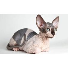 Гипоаллергенные породы кошек.