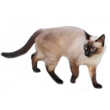 Сиамская кошка — особенности внешнего вида
