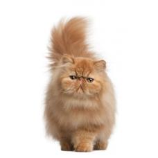 Персидские кошки – особенности породы