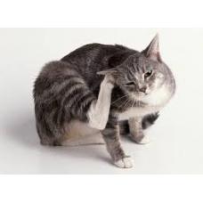 Болезни уха у кошек