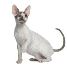 Какие породы кошек самые добрые