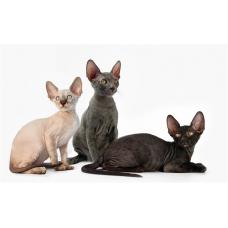 Все о породах не линяющих кошек