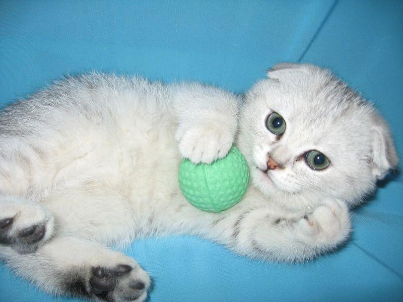 Чем и как кормить вислоухого котенка