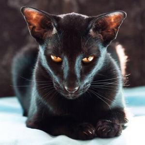 Ориентальная порода котов