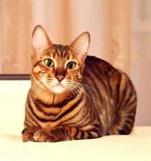 Порода котов Тойгер
