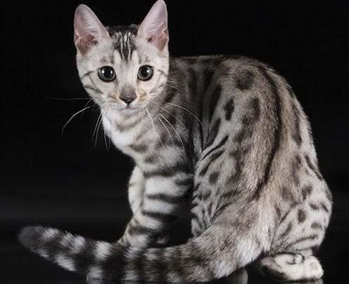 Бенгальская кошка - самая дорогая в мире